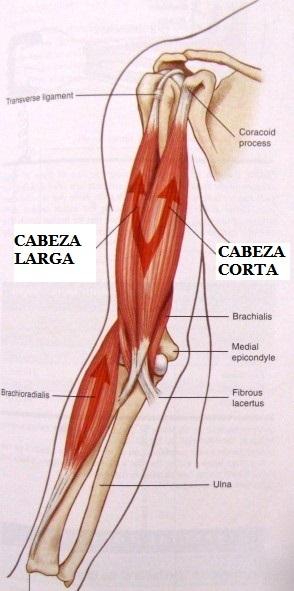 Trabajo del Bíceps braquial y su relación con el dolor de espalda